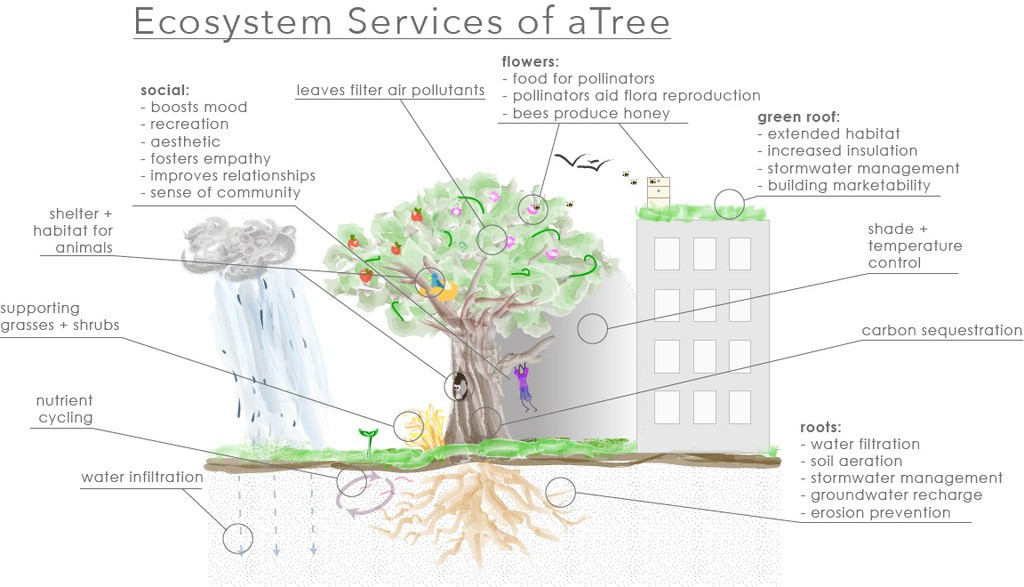 Trees provide many important services for humans, living organisms, and the environment. This diagram shows the specific ecosystem benefits associated with a tree.