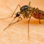 Closeup of mosquito feeding on skin